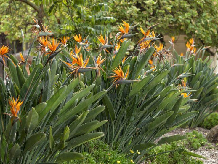 Pin On Strelitzia Family Strelitziaceae