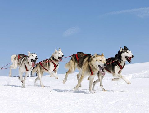 http://www.cavitnaturatrentina.it/sport-green-living/sled_dog_trentino/