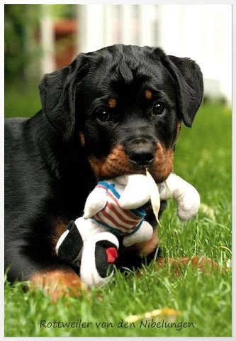 .#Rottweiler #puppy and his #toy