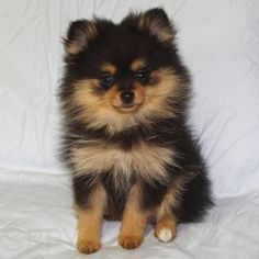 Pomchi (Pomeranian-Chihuahua mix) Info, Temperament, Puppies, Pictures