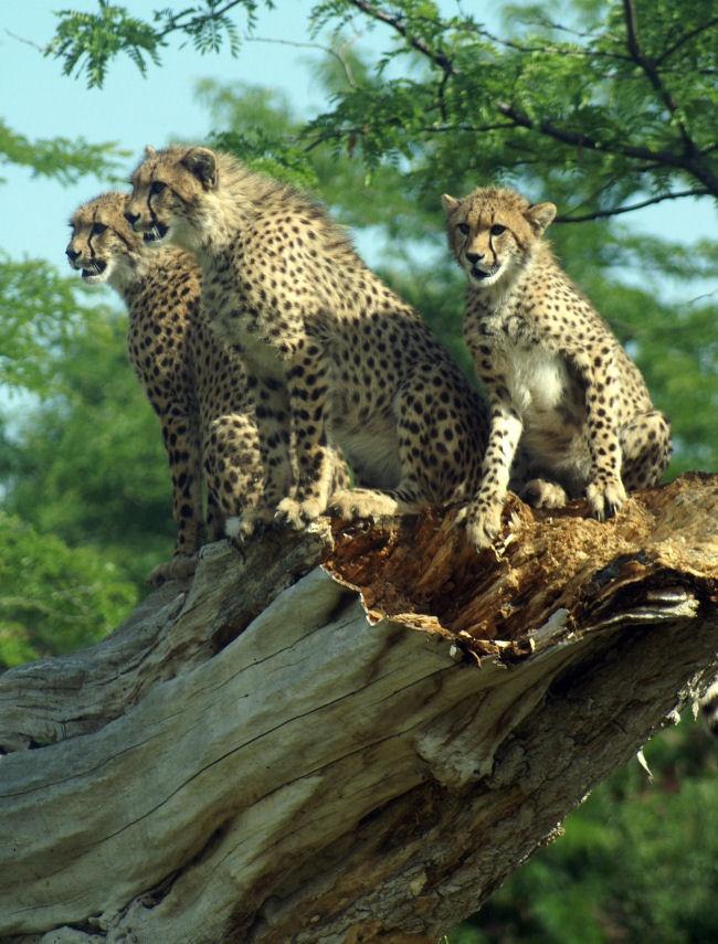 Cheetahs (by conwest_john)