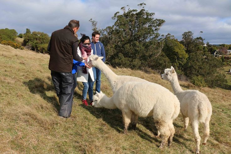 One of the farms we get our Alpaca fibre from is right outside our doorstep on the beautiful Otago Peninsula and Andy from Flagstaff Alpacas was kind enough to take some of our office staff out for a meet and greet with the Alpacas. As you can imagine, we had a great time! #novadown, #alpaca, #alpacaduvet