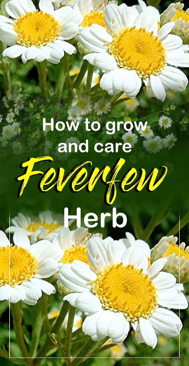 How To Grow And Care Feverfew Herb Feverfew Plant Feverfew Growing Herbs