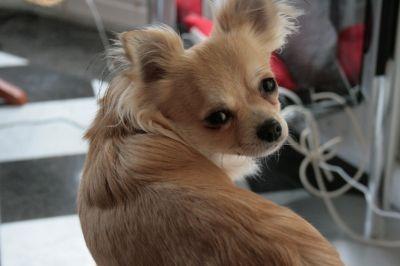 Chihuahua kennel - El Casa del Markol - Fotoboek