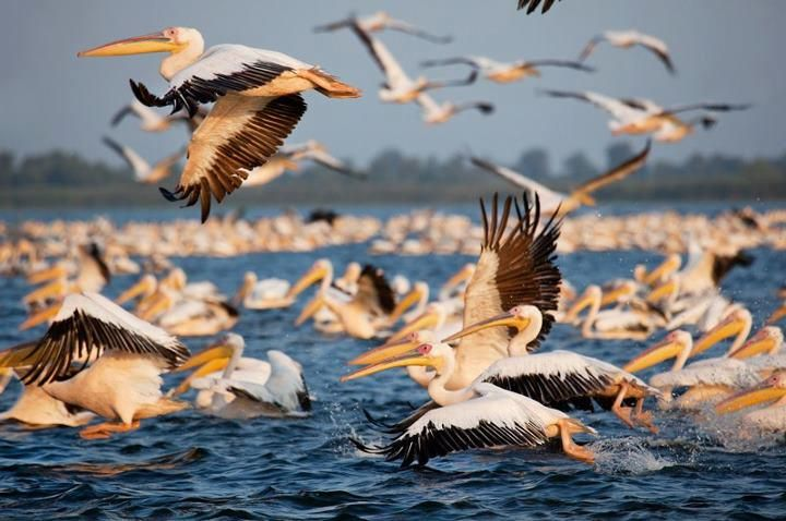Danube Delta! The largest colony of dalmatians pelicans!