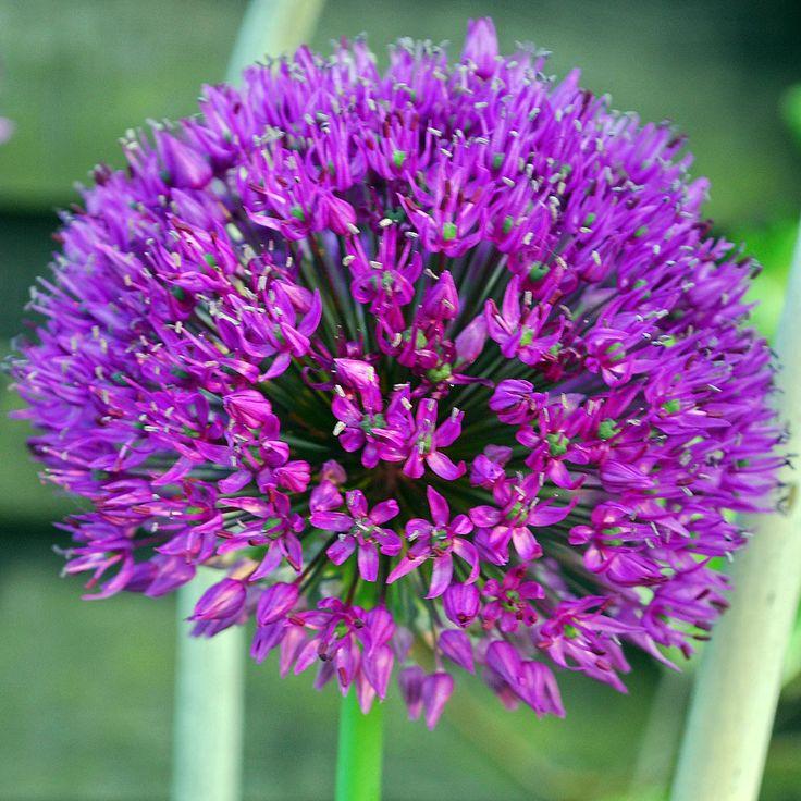 Allium: Esencia floral que atrae una potente protección contra los ataques de las fuerzas psíquicas astrales y sus consecuentes vampirismos. Es un poderoso desobsesor. Deshace también los encantamientos. El floral Allium devuelve la calma, el discernimiento, actúa como floral coadyuvante en los estados de: agotamiento psíquico, insomnio, hipocondría, anorexia. Es apropiado para anular el mal de ojo y sus consecuentes bostezos.