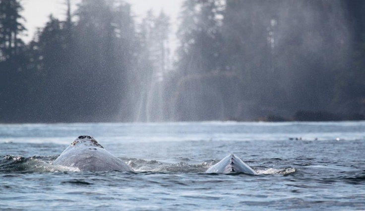 Whale season is so close you could almost reach out and touch it...these two grey whales were spotted off Long Beach TODAY!