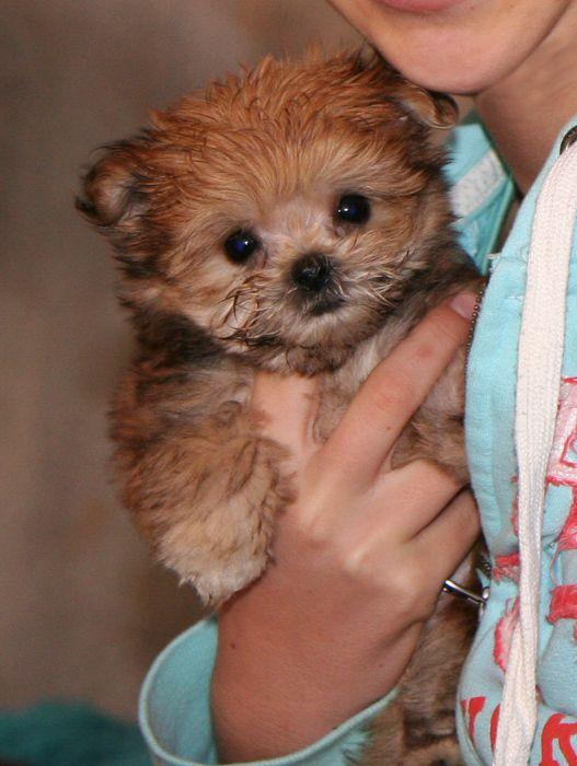 Mi-Ki puppy