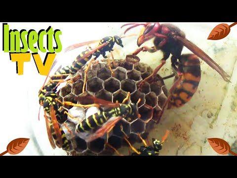 Гигантские шершни атакуют пчелиный улей! О мой Бог! - YouTube
