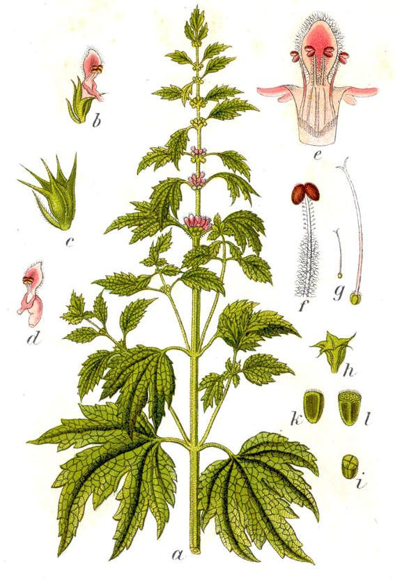 The benefits of motherwort include strengthening both the physical heart and calming the emotional heart