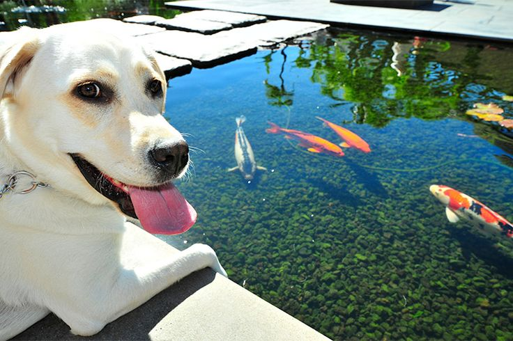 17 best images about dogs and koi on pinterest for What to feed baby koi