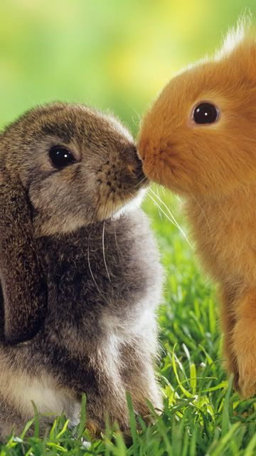 Haha, this is funny. Grey one 'oh! Uh...' orange one 'uh oh...'. ( ) ( ) ( ' . ' ) (,,) (,,) BUNNIES