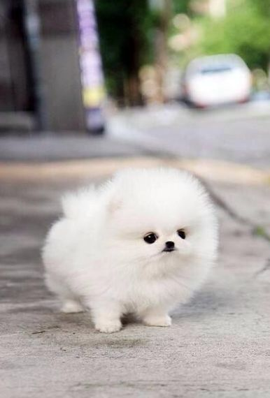 17 Photos Of Baby Pomeranians Because They're Pretty Much What You Need Right Now