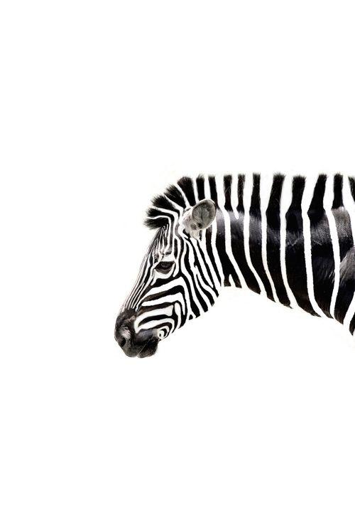 Zebra , black & white perfect stripes