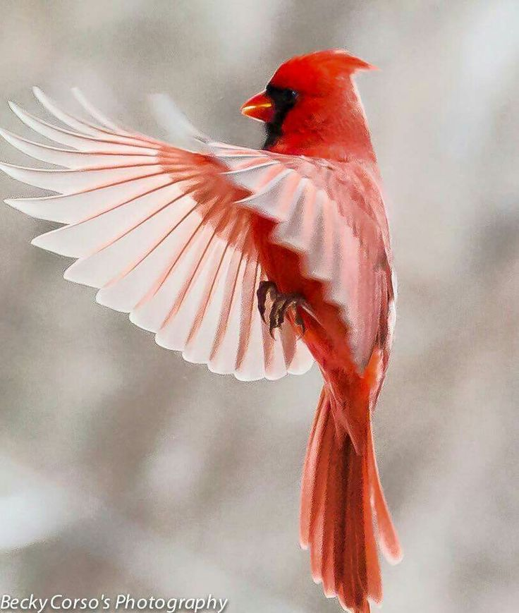 Northern Cardinal.  Gorgeous> One comes tapping on our windows several times a day :)