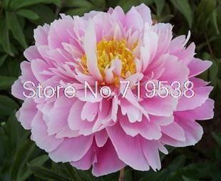 [Небо] Пион цветы декоративные цветы в горшках 10 семена