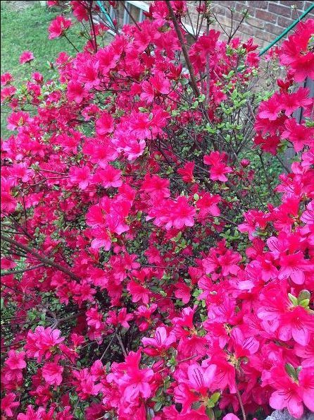 Coffee Grounds Gardening Azalea Bushes Roses Rhododendrons Evergreens Hydrangeas And Camellias Love For The Natural Acidity
