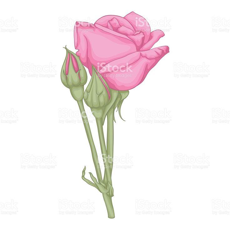 Красивая Красная роза изолирована на белом фоне. Сток Вектор Стоковая фотография