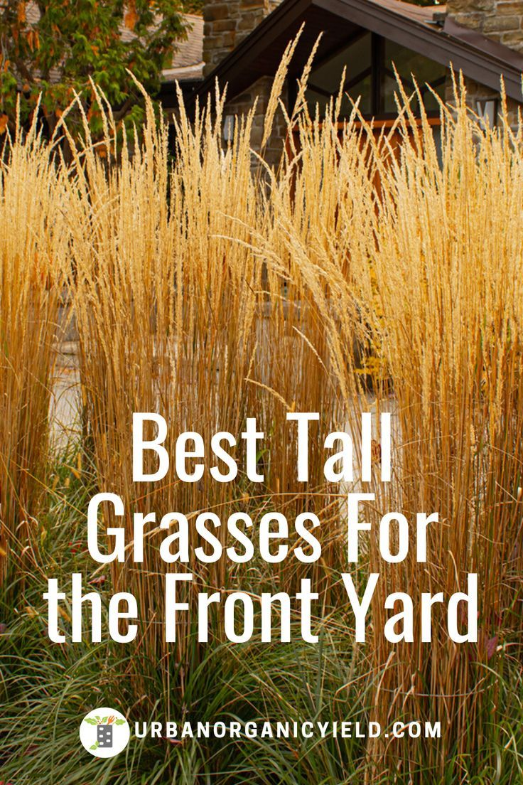Best Tall Decorative Grasses To Create A Privacy Fence Tall Ornamental Grasses Ornamental Grass Landscape Tall Grass Landscaping
