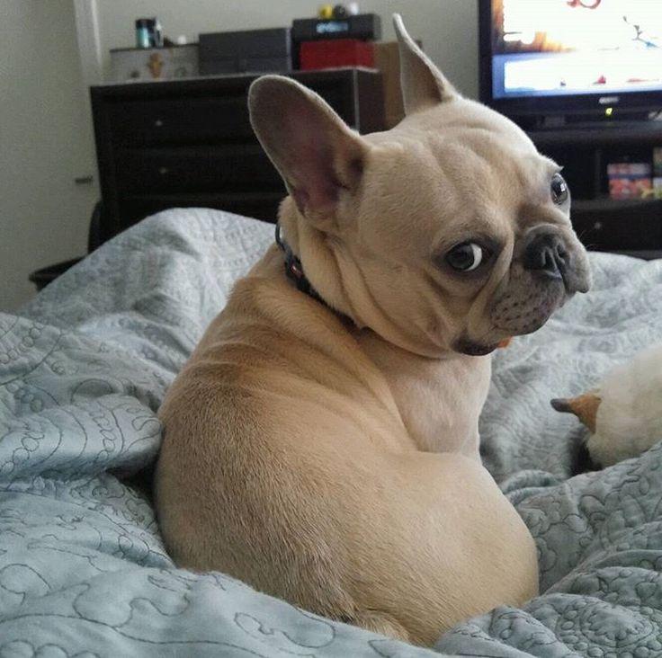 american french bulldog - photo #38