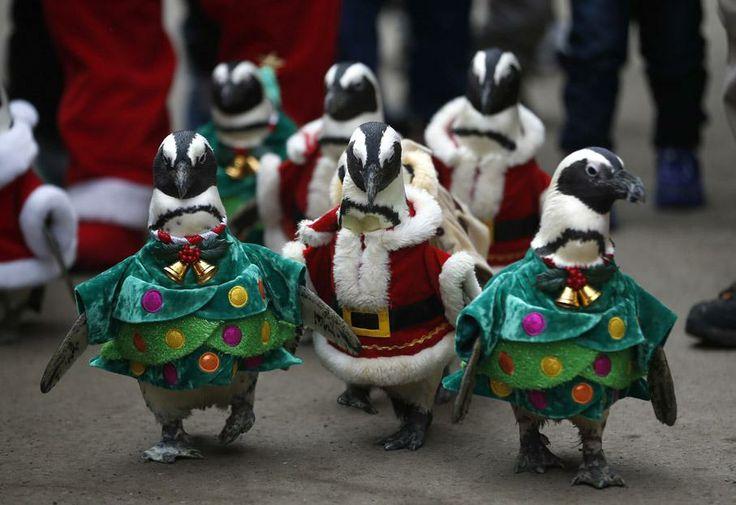 Des pingouins défilent en habits de Noël dans un parc d'attraction de Yongin (Chine), le 18 décembre 2013. KIM HONG-JI / REUTERS