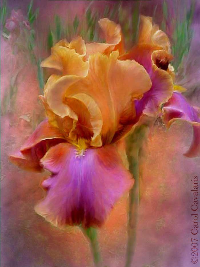 Iris - Carol Cavalaris