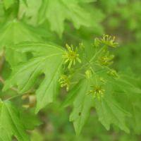 Achat Acer Campestre - Erable champetre - Plante 40-60 cm en Racine nue