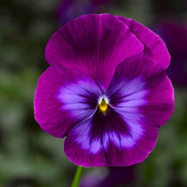 14 Unusual Pansy Varieties Pansies Flowers Beautiful Flowers Amazing Flowers