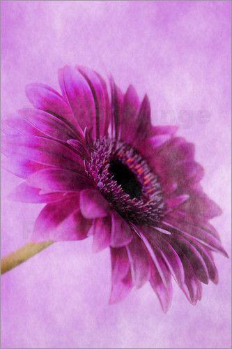 Gerbera pink Poster von Christine Bässler