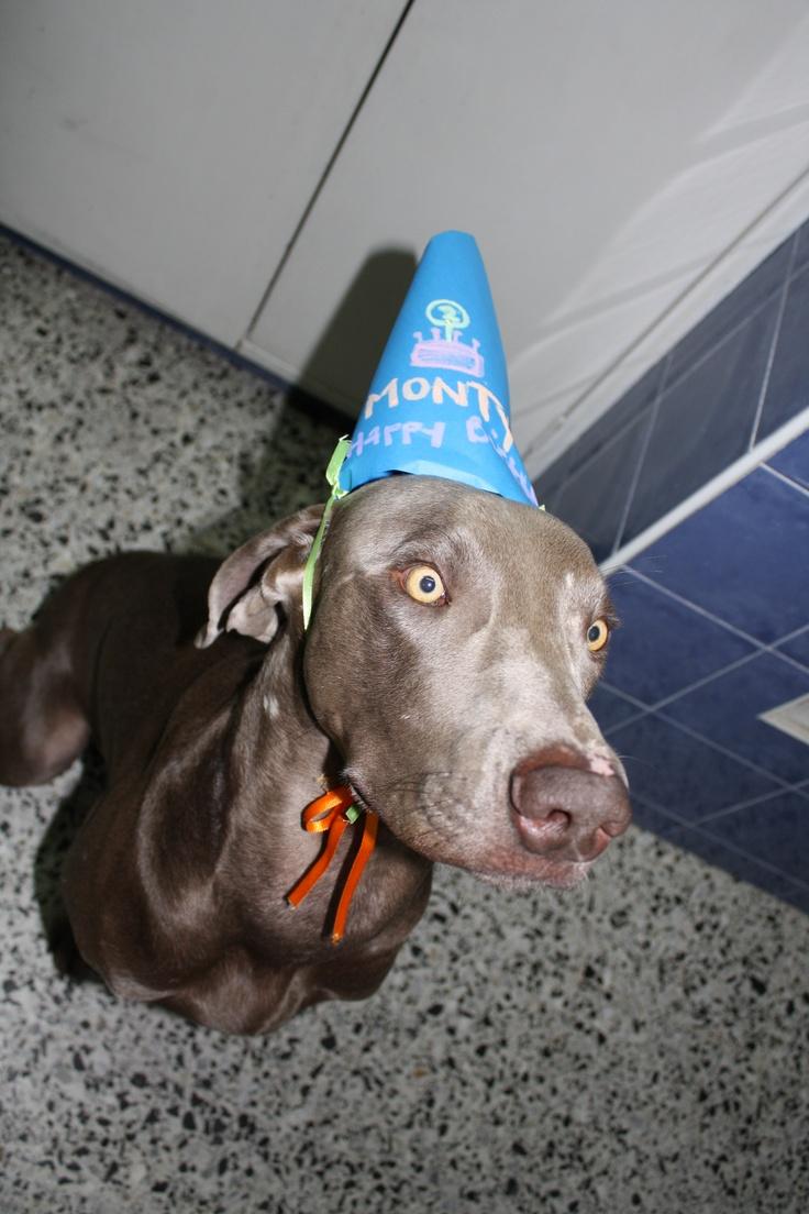 Happy Birthday Monty Monty The Weimaraner Pinterest
