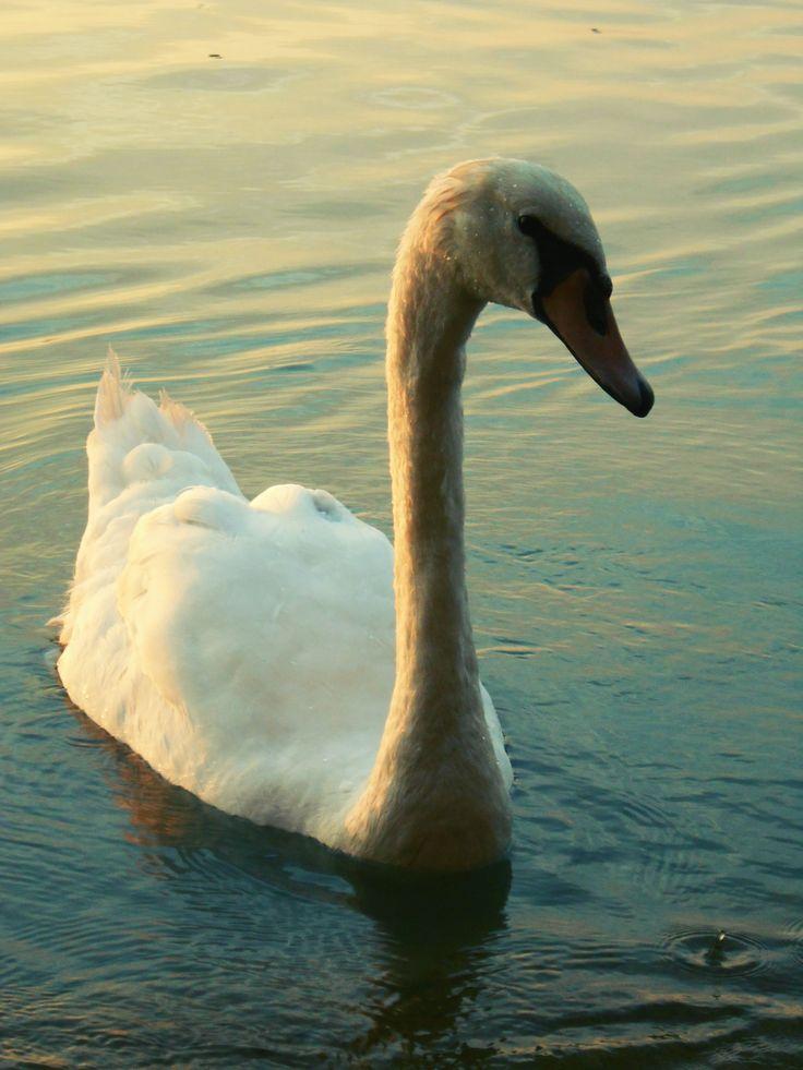 Balaton, hattyú, nyár Hungary, swan, summer