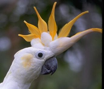 Citron-crested cockatoo. Almost looks like a bird of paradise flower!