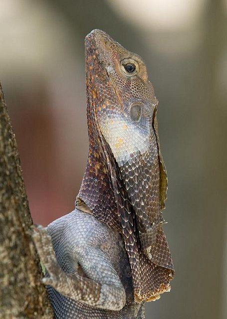 Frill necked lizard at East Point, Darwin - Australia