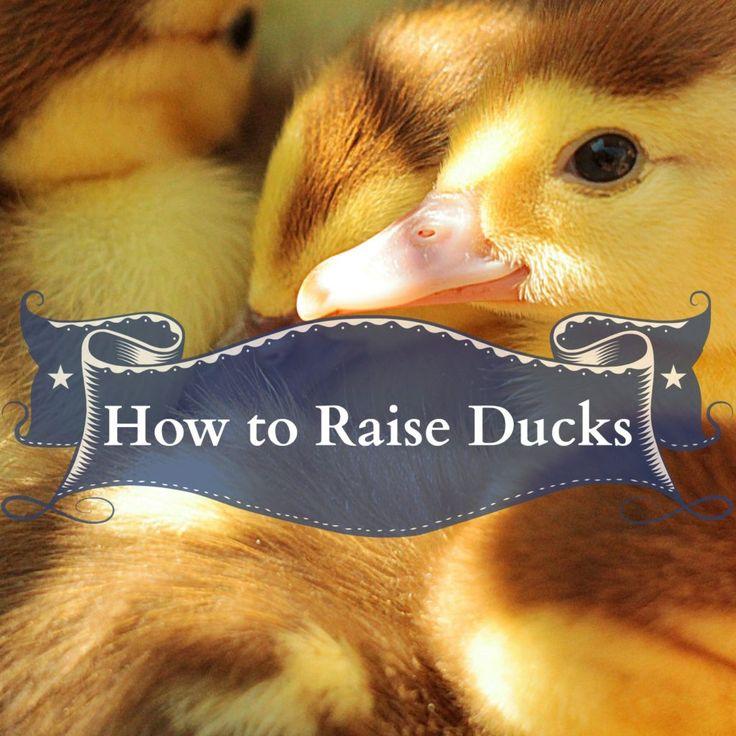 How To Raise Ducks – Homesteading Guide