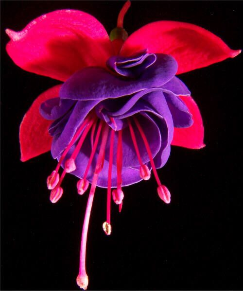 Fushia... I LOVE these!! I had the most beautiful hanging pot of these... <3