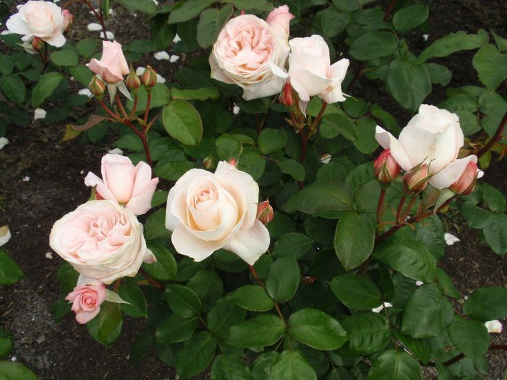 Rosa 'Fond Memories'. Described and illustrated in the plant guide of my website http://www.aboutgardendesign.com
