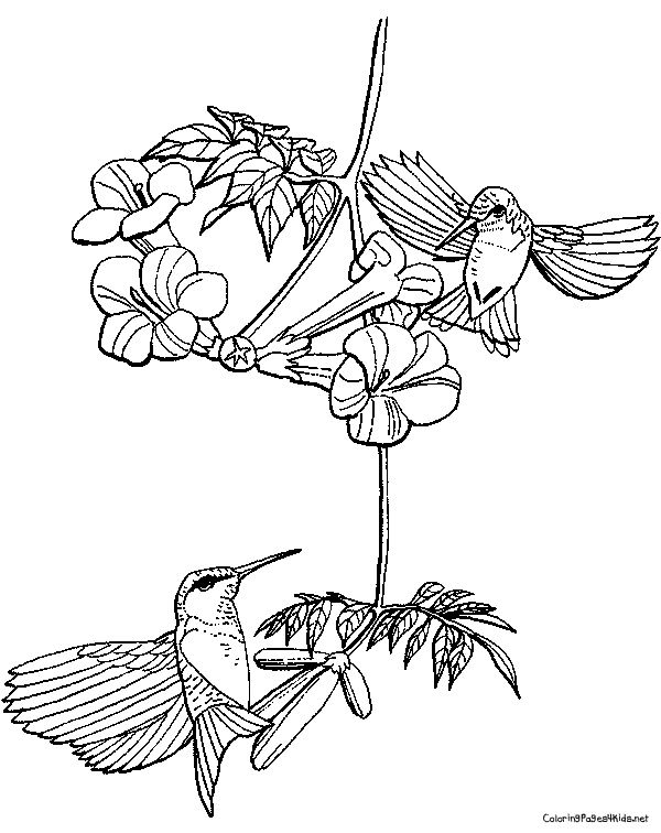 Coloring Pages For Adults Hummingbird : Best images about color on pinterest sailing ships