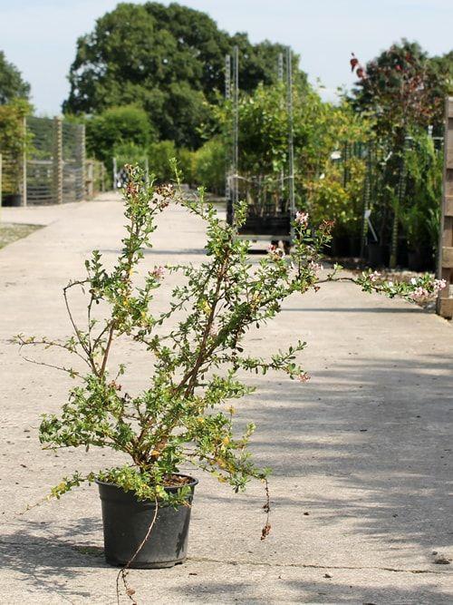 Buy Pink Escallonia Hedge Plants - Hedges Direct UK