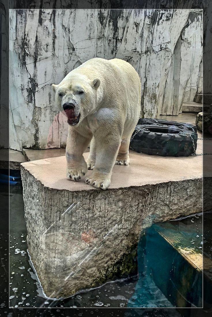 Unique Tag der verhaltensgest rte Eisb r im Karlsruher Zoo
