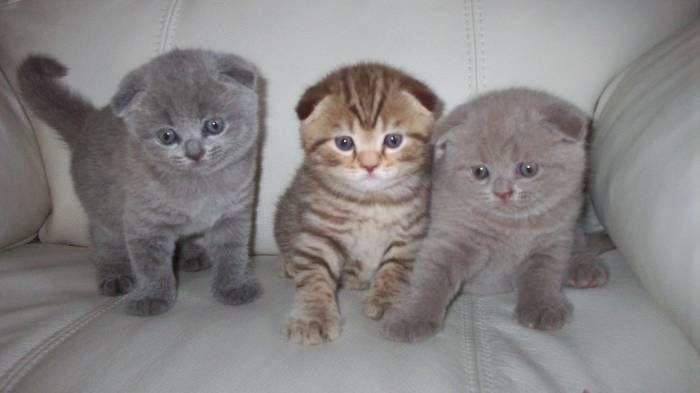 Широкоформатные обои Вислоухие кошки, Шотландские вислоухие котята