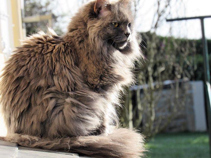 Fluffy cat- LADY - Yummypets