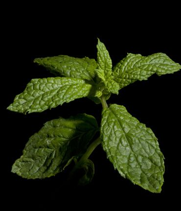 SPEARMINT has antiseptic and antifungal properties. Refreshes breath.  A spearmint leaf tea was traditionally used in the treatment of fevers, headaches, digestive disorders and various minor ailments. Its essential oil has antiseptic, antibacterial, antifungal and cooling properties. Thus, it is widely used in toothpastes and chewing gums as it helps protect teeth and maintain them in a good condition, offering at the same time a pleasant flavor. Read more at www.apivita.com
