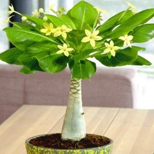 "Brighamia insignis ""Palmier hawaïen"" Plant"