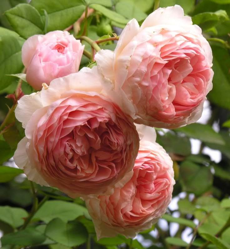 Rosa 'William Morris' (Austin) Engelsk buskros Höjd: 1,5 m Doft: Stark Remonterar  Frisk
