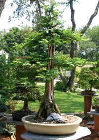 dawn_redwood_bonsai5