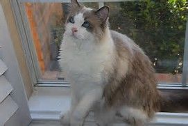 Ragdoll Cat Rescue - Bing images