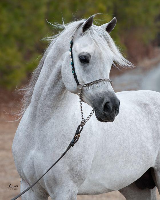 Ramses Mishaal Nadir (Mishaal HP x Ramses Minx), grey Egyptian Arabian stallion. Arabians Ltd. #mishaalhp