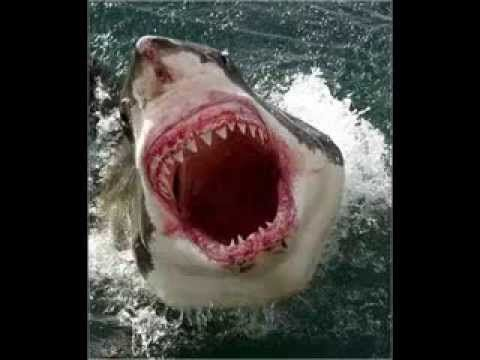 Megalodon Shark Videos