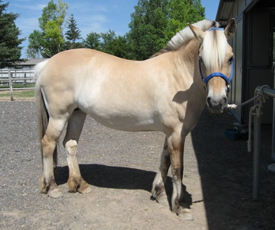 Krystall....a 2001 Norweigan Fjord mare... she is a doll baby... I think she might make one heck of a therapy horse.....