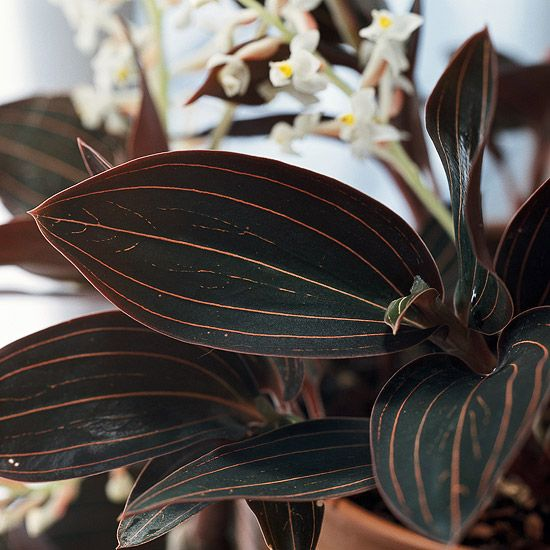 Jewel Orchid - purple foliage w/ pink stripes; not usually grown for its small white blooms